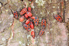 Firebug on a Tree Trunk Stock Images