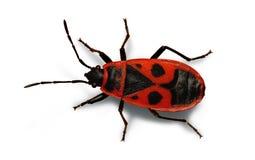 Firebug. On a white background Stock Photos