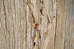 Firebug wood background Stock Image