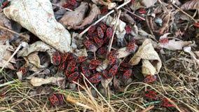 Firebugen den Pyrrhocoris apterusen, är ett kryp av Pyrrhocoridaefamiljen arkivfilmer