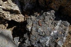 Firebugs ή σύντροφος apterus Pyrrhocoris στην πέτρα Στοκ Φωτογραφίες