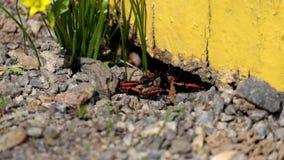 Firebugs κατά τη διάρκεια της εποχής αναπαραγωγής φιλμ μικρού μήκους