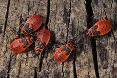 Firebugs Stock Foto's