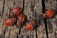 Firebugs Stock Photos
