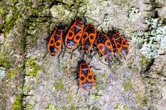 Firebugs Imagen de archivo