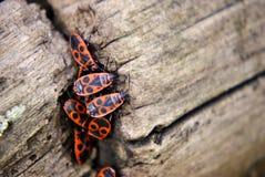 Firebugs aggregation on wood Stock Photo