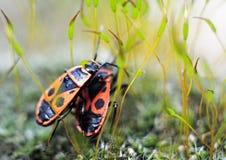 Firebugs (apterus Pyrrhocoris) Στοκ φωτογραφία με δικαίωμα ελεύθερης χρήσης