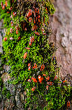 Firebugs colony on a tree Stock Photo