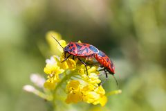 Firebugs at the flowers - reproduction macro. Photo stock images