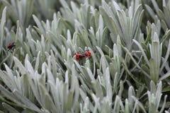 Firebugs Mating Stock Photography