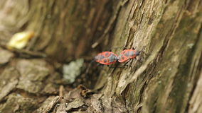 Firebugs Mating on a tree stock video