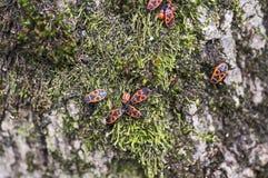 Firebugs on moss Royalty Free Stock Image