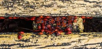 Firebugs på bänk Royaltyfria Foton