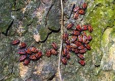 Firebugs-Pyrrhocoris apterus-01 Στοκ Φωτογραφίες