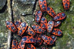 Firebugs-Pyrrhocoris apterus-02 Στοκ Εικόνα
