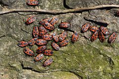 Firebugs-Pyrrhocoris apterus-03 Στοκ φωτογραφίες με δικαίωμα ελεύθερης χρήσης