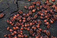 Firebugs Pyrrhocoris apterus royaltyfria bilder