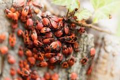 Firebugs Pyrrhocoris Apterus Στοκ φωτογραφία με δικαίωμα ελεύθερης χρήσης