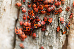 Firebugs Pyrrhocoris Apterus Στοκ Φωτογραφίες