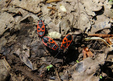 Firebugs Pyrrhocoris Apterus Stock Photos