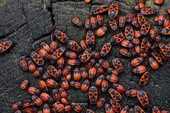 Firebugs, Pyrrhocoris apterus royalty free stock images