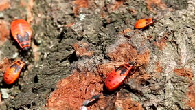 Firebugs Royalty Free Stock Photo