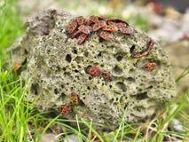 Firebugs som sitter på en sten Royaltyfria Bilder