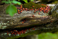 Firebugsna på ett träd Royaltyfri Fotografi