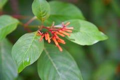 firebush: buske i florida arkivbilder