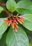 firebush: buske i florida royaltyfri foto