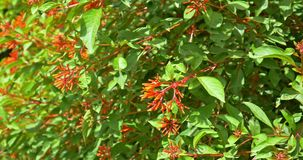 Firebush ou colibri Bush (Hamelia Patens) banque de vidéos