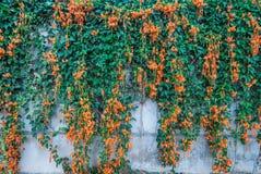 Firecracker λουλουδιών φλογών σαλπίγγων Pyrostegia Venusta/κινηματογραφήσεων σε πρώτο πλάνο φρέσκο πορτοκαλί υπόβαθρο αμπέλων Στοκ Φωτογραφίες