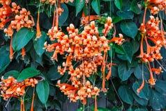 Firecracker λουλουδιών φλογών σαλπίγγων Pyrostegia Venusta/κινηματογραφήσεων σε πρώτο πλάνο φρέσκο πορτοκαλί υπόβαθρο αμπέλων Στοκ φωτογραφίες με δικαίωμα ελεύθερης χρήσης