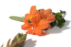 Firecracker λουλούδι και σπόρος Στοκ εικόνες με δικαίωμα ελεύθερης χρήσης