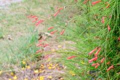 Firecracker λουλούδι στοκ εικόνα με δικαίωμα ελεύθερης χρήσης