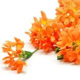 Firecracker flower Stock Images