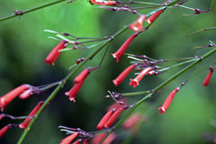Firecracker plant in bloom Royalty Free Stock Photography