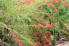 Firecracker plant growing and in bloom Royalty Free Stock Photos