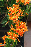 Firecracker Vine flowers Stock Image