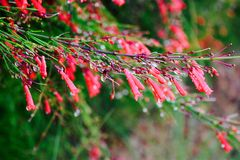 Firecrackers plant Royalty Free Stock Images