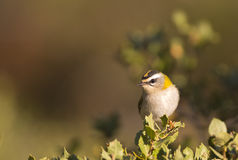 Firecrest on a Bush Royalty Free Stock Photo