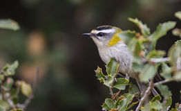 Firecrest on a Bush Stock Images