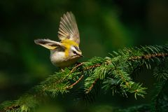 Firecrest - ignicapilla del régulo con la cresta amarilla que se sienta en la rama en el bosque oscuro con el backgro colorido he fotografía de archivo libre de regalías