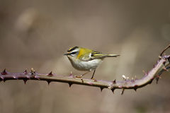 Firecrest, Regulus ignicapillus Royalty Free Stock Photo