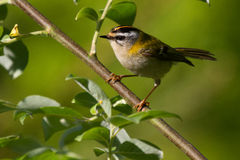 Firecrest. Sitting on a branch with grean leaves royalty free stock photo