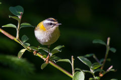 Firecrest. Sitting on a branch with grean leaves Stock Images