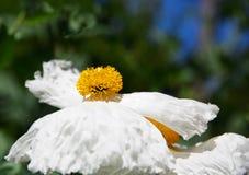 Fired Egg Flower Stock Image