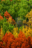 Firefall. Colorful Colorado Fall Aspen trees paint the forest of Monarch Pass during Autumn royalty free stock photography