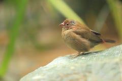 Firefinch Rosso-fatturato fotografia stock libera da diritti