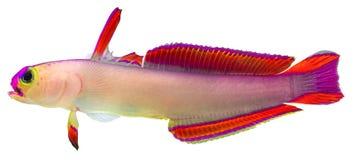 firefish πορφύρα Στοκ Φωτογραφίες